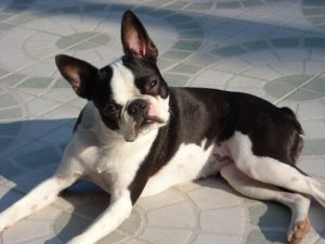 Tailless Boston Terrier