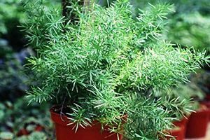 are asparagus ferns poisonous to cats