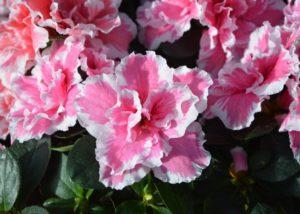 are azaleas poisonous to cats