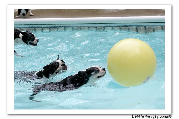 Boston Terriers swimming