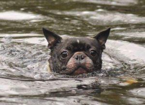 swimming boston terrier