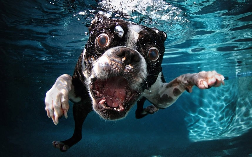 boston terriers like swimming