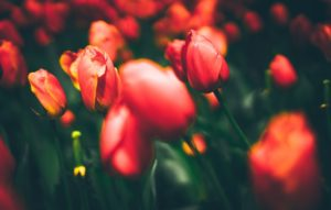 are-tulips-poisonous-to-cats