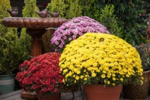 are mums poisonous to cats