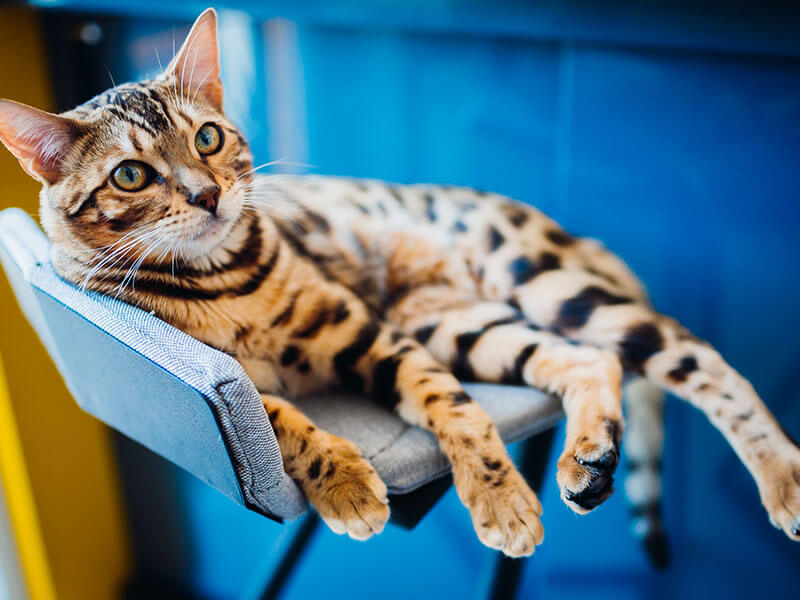 Lilla is a beautiful bengal cat that needs a home!