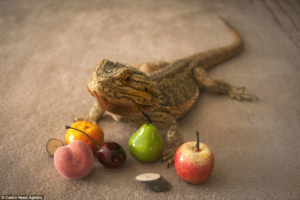 can beared dragons eat apples