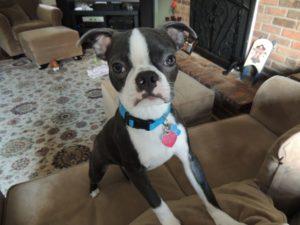 boston terrier ears floppy