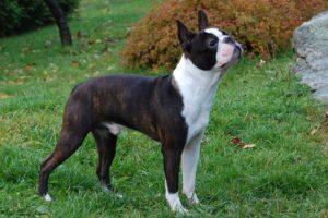 boston terrier shedding