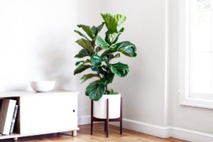 are-fiddle-leaf-figs-poisonous-to-cats