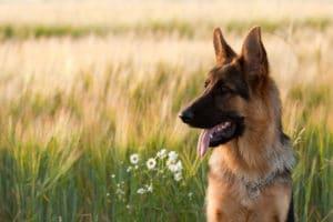 german-shepherd-drooling