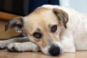 adult pedialyte dog