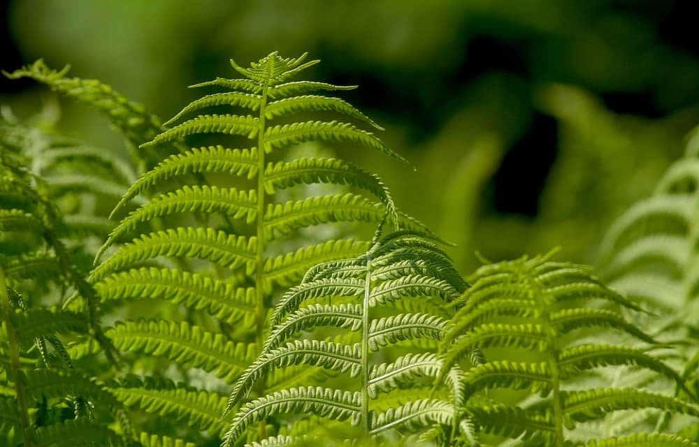 Fern Leaf Plant