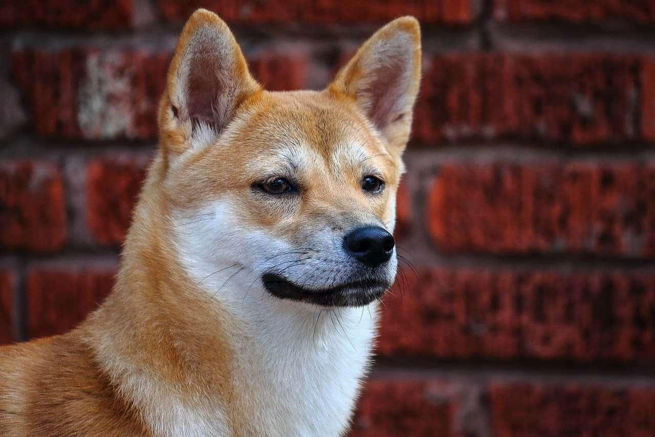 Shiba inu - a purebred Japanese dog