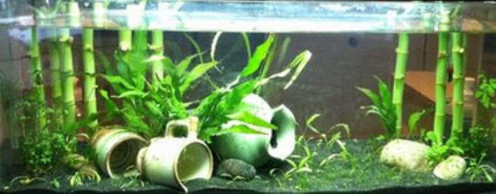 Lucky Bamboo in aquarium