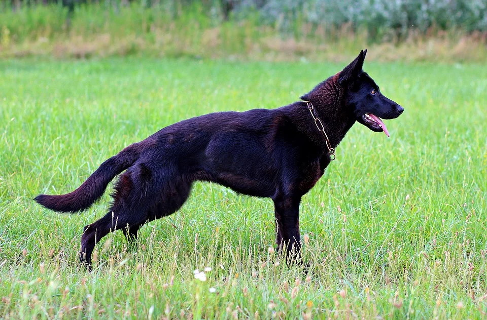 German Shepards are natural-born trotters